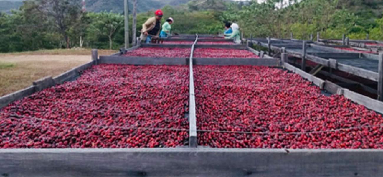 ニカラグアペラルタ農園